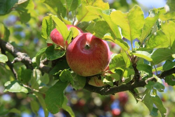 apple-694672_1280