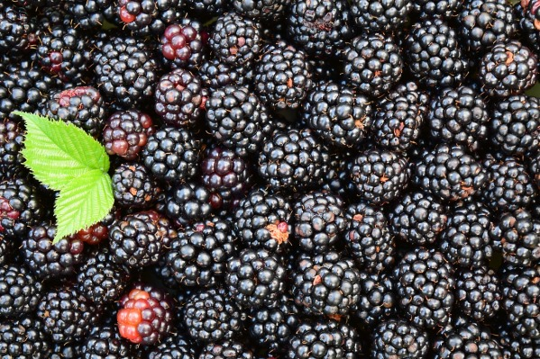 blackberries-1541320_1280 (1)