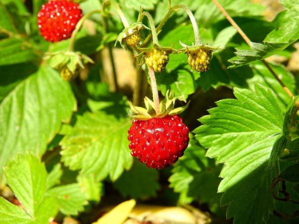 strawberry-2358633_1280