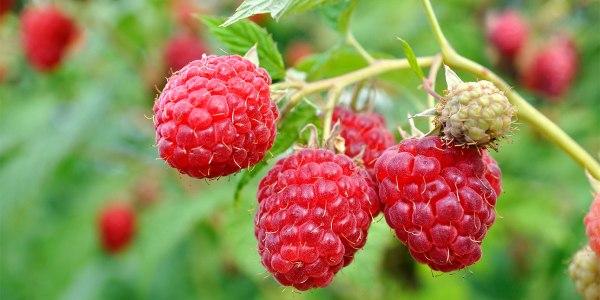 figure-raspberry
