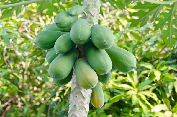 papaja-drevo-1024x677